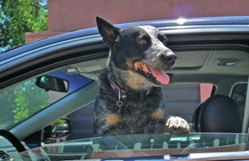 AAA has released a list of the best car for dogs. (Photo by Josh Condon.)