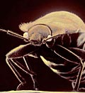 Scanning electron microscope image of bed bug (© Tim Flach/Getty Images)